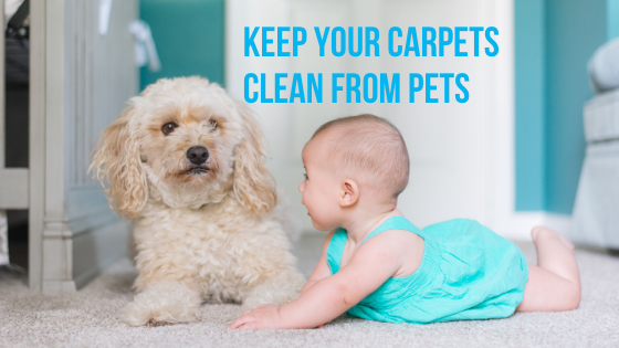 Best Tips in Keeping Your Carpets Clean From Pets